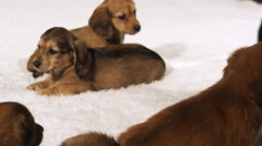 A litter of puppies being greeted by a friendly older dog - stock footage