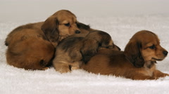 A litter of snuggling puppies trying to get really comfortable - stock footage