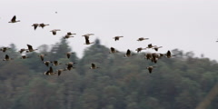 Canada geese flying - stock footage