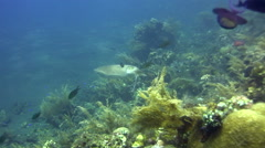 Broadclub cuttlefish (Sepia latimanus) changing color by wave Stock Footage