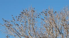 Black birds fall from the bare tree - stock footage