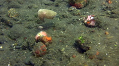 Needle cuttlefish (Sepia aculeata), juvenile Stock Footage