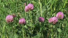 Red clover, Trifolium pratense, blooming in summer breeze - side view Stock Footage