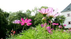 Pink wildflowers in a meadow near a huge house Stock Footage