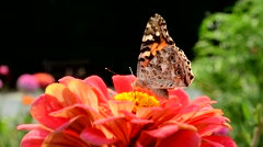 Vanessa Atalanta pollinates red flower Stock Footage
