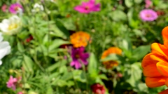 View of orange zinnia in the garden Stock Footage
