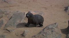Sea lion walking around the stones to searching perhaps food - stock footage
