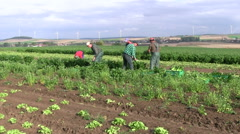 fieldworkers at celery harvest - stock footage