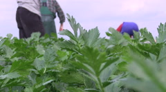Fieldworkers at celery harvest Stock Footage
