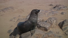 Sea lion scratching the fur - stock footage