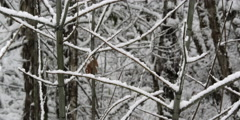 Close-up snow falling on young maple saplings in a wood Stock Footage