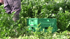 Celery harvest Stock Footage