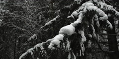 Right pan over snow-covered fir boughs in a forest Stock Footage