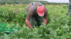 worker on celery harvest - stock footage