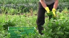 celery harvest - stock footage