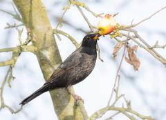 Commonb blackbird eating in an apple tree Stock Photos