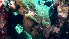 Giant frogfish (Antennarius commerson) green Stock Footage
