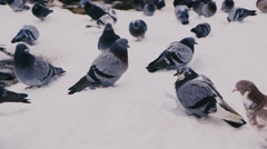 Many pigeons in the snow, harsh winter Stock Footage