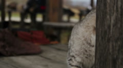 Nice cat sitting on wooden table near military equipment, medieval village Stock Footage