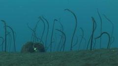 Field of brown garden eel (Heteroconger longissimus), shot with tripod Stock Footage