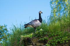 Canada goose bird Stock Photos