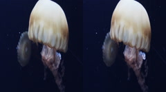 This is a shot of a Chrysaora hysoscella jellyfish. Shot in 3D and availible - stock footage