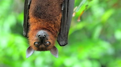 Flying Fox Pteropus hanging on tree branch in tropical rain forest in Asia Stock Footage