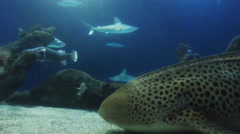 This is a shot of a leopard shark sitting on the ground breathing. Shot on a Stock Footage