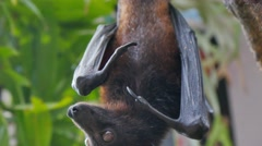 Bat hanging from a branch close up Stock Footage