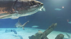 This is a shot of a tarpon swimming. Shot on a gopro hero black 3D. Availible - stock footage