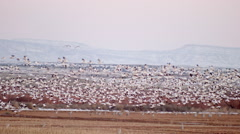 Flock of Snow Geese Flying Low Stock Footage