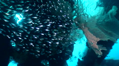 Glassfishes with gorgonian fan and midnight snapper - stock footage