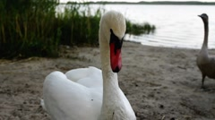 Swans are birds of family Anatidae within Cygnus Stock Footage