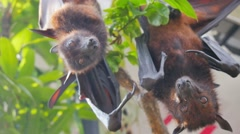 Bat hanging looking at the camera Stock Footage