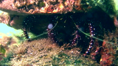 Blue knee hermit crab (Dardanus guttatus) - stock footage