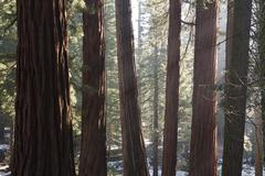 Redwood forest, Sequoia and Kings Canyon National Parks, California, USA Kuvituskuvat