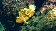 Leaf scorpionfish (Taenianotus triacanthus) yellow Stock Footage