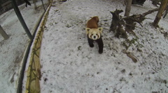 Red panda bear walks on a snow Stock Footage