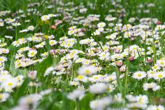 Daisies growing in field - stock photo