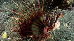 Spotfin lionfish (Pterois antennata) Stock Footage