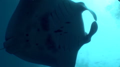 Giant manta ray (Manta birostris) from below - stock footage