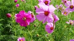 Cosmos flower blossom in garden Stock Footage
