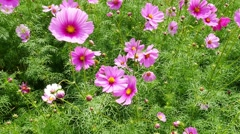 Cosmos flower blossom in garden Stock Footage
