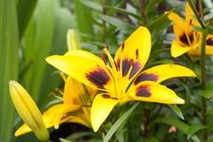 Yellow lilium maculatum Thunb Stock Photos
