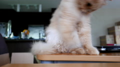 persian cat playing her toy Stock Footage