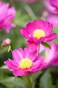 Pink paeonia lactiflora - stock photo