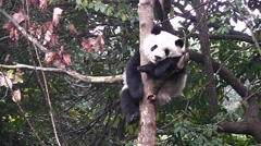 Giant panda sleeping on the tree Stock Footage