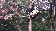 Giant panda sleeping on the tree - stock footage
