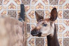 Close-up of an okapi Stock Photos