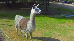 Llamas stand and walk in a fenced-in area. - stock footage